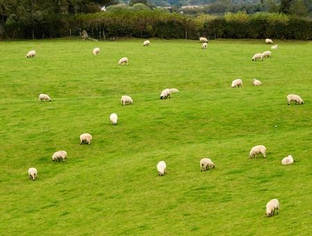 Herd of irish sheeps on pasture