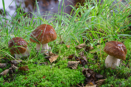 Foto per Group of the edible Boletus mushrooms in grassy forest, Norway - Immagine Royalty Free