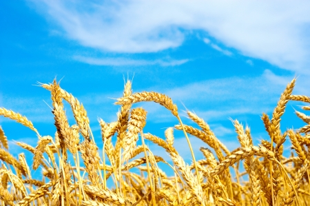 Photo for Field of wheat with blue sky - Royalty Free Image