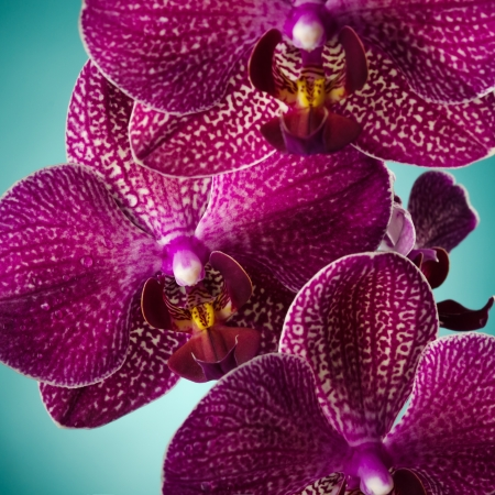 Purple orchid over blue back