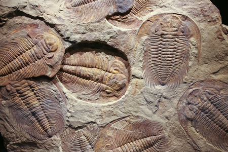 The imprint of the ancient trilobite in a stone.