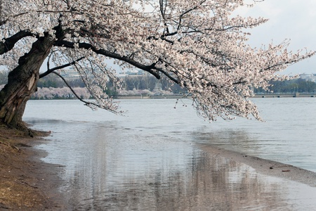 Cherry Blossom Festival in Washington DC.