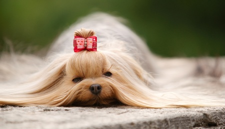 Yorkshire terrier with long brown hair and red hairpin lying outdoors on a grey stone. Daylight, stray light, focus on eyes, shallow of DOF