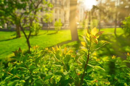 Photo for Sunny park in warm spring day. Sun flares over fresh green branches on shrub - Royalty Free Image