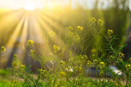 Photo pour Blooming wildflowers in sunny day in light of yellow sun - image libre de droit