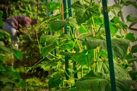 Cultivation of cucumbers in small DIY greenhouse