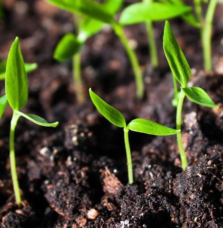 Photo pour Young sprouts in the soil - image libre de droit