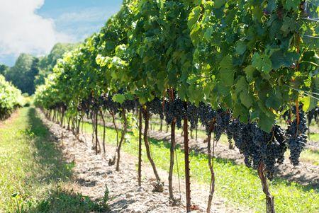 concord grapes on the vine