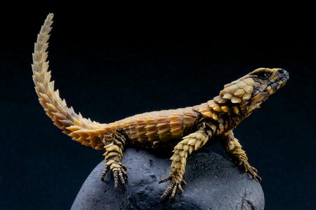Armadillo lizard   Cordylus cataphractus