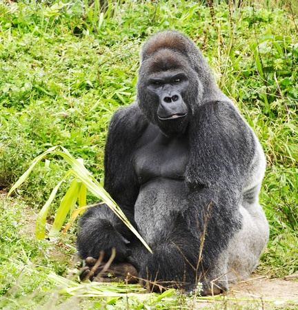 A male silver back gorilla sitting holding a piece of vegetation