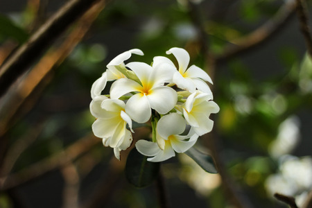 White Plumeria good-looking  Comparable to similar pretty girl for You