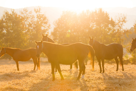horse herd on ranch at sunrise