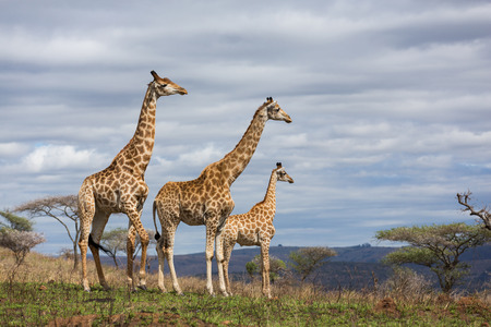 giraffes in south africa game reserve