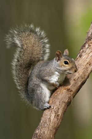 Photo pour Eastern Gray Squirrel on a tree branch. - image libre de droit