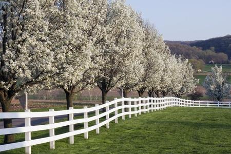 Row of Dogwood Trees blossom