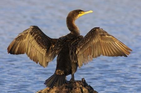 Double-crested Cormorant spreading it