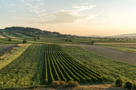 Foto per The sun is setting over a vineyard near Eisenstadt in Burgenland, Austria - Immagine Royalty Free