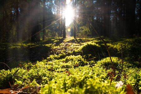 Photo for Forest with sunlight. The sun rays through branches and trees, beautiful moss carpet, nature - Royalty Free Image