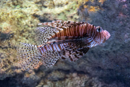 Photo pour Red lionfish, predatory scorpion fish that lives on coral reefs of the Indo-Pacific Ocean and more recently in the western Atlantic, swimming among rocks, invasive species - image libre de droit