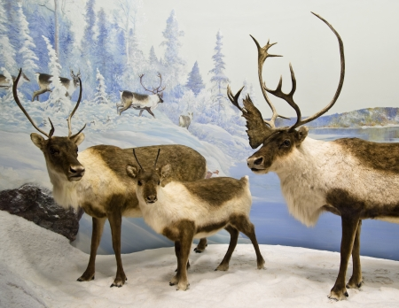 A heard of caribou in the northern mountains of Canada
