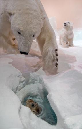Mama bear hunting for seal.