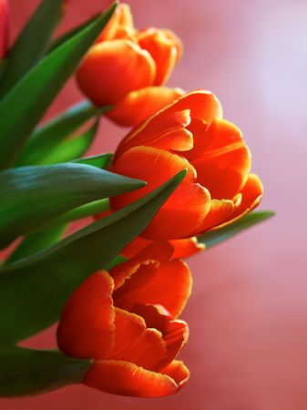 close up of bright tulips on red background