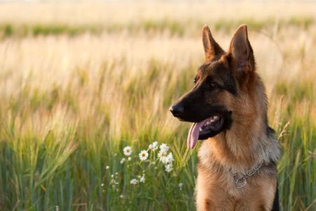 German shepherd in front of wheat field and flowers.