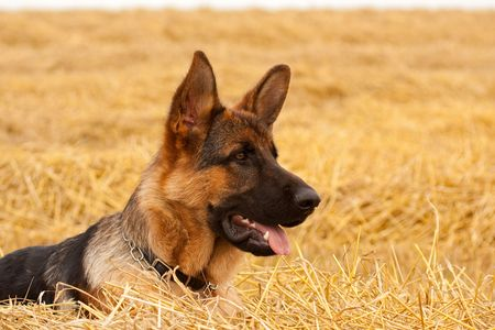 German Shepherd playing in the field