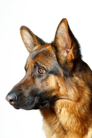 German Shepherd - white background