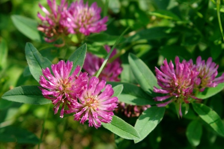 Flower fragrant green clover growing on the glade