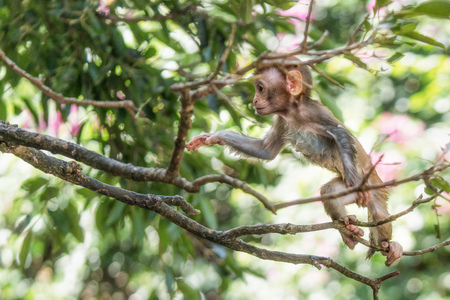 Picture of the Macaque Rhesus baby