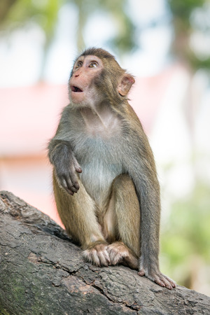 Picture of the old Macaque Rhesus wondering