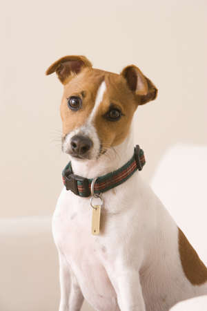 A terrier wearing a collar and a dog tag is sitting on a chair looking at the camera. Vertical shot.