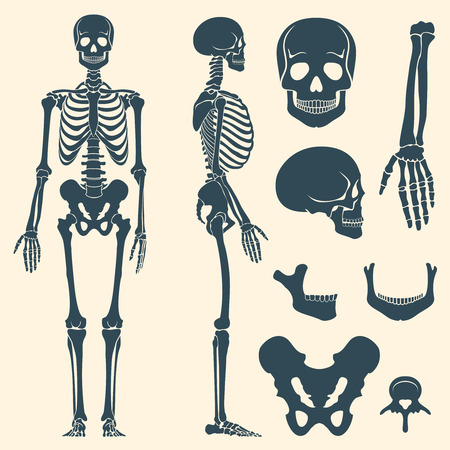 Illustration pour Human bones skeleton silhouette vector. Set of bones, illustration spine and skull bones - image libre de droit