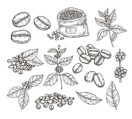 Illustration for Coffee plants sketch. Vintage black beans, tasty arabica robusta grains. Isolated hand drawn branch and leaf, cafe cafeteria vector elements. Sketch drawing leaf engraving caffeine illustration - Royalty Free Image