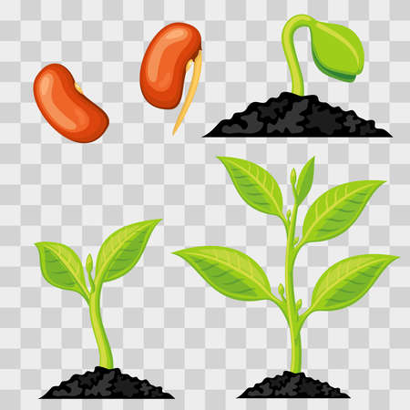 Illustration pour Plant growth stages from seed to sprout isolated on transparent background. Vector illustration - image libre de droit