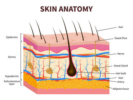 Illustration pour Human skin. Layered epidermis with hair follicle, sweat and sebaceous glands. Healthy skin anatomy medical vector illustration. Dermis and epidermis skin, hypodermis - image libre de droit