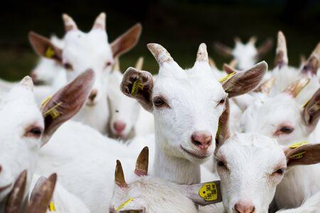 Photo pour White Goats - image libre de droit