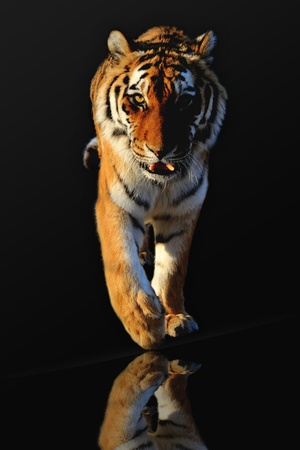 isolated tiger on black