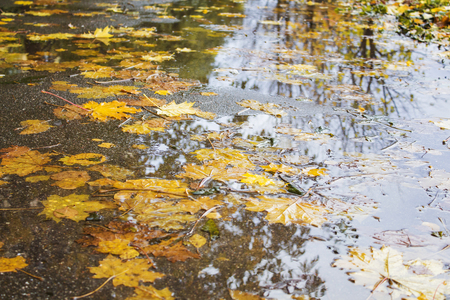 Yellow and red maple leaves in a puddle under the rain.の素材 [FY31089289237]