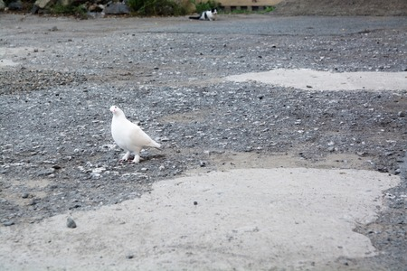 Lonely white pigeon stay in waiting. Empty area with paved surface in bad condition.