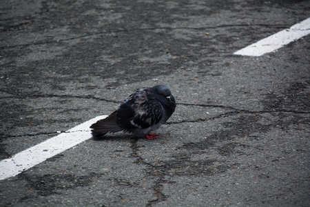 Pigeon is sitting on a asphalt surface with markup. Ruffled bird.