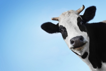 Photo pour Funny smiling black and white cow on blue clear background - image libre de droit