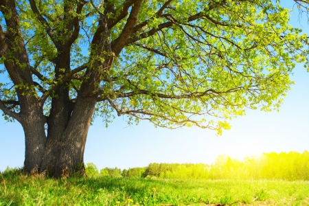 Big tree with fresh green leaves and green spring meadow