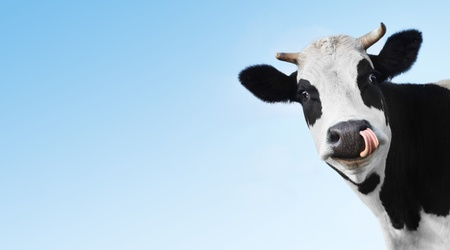 Crazy smiling cow with tongue looking to a camera on blue clear background with copyspace