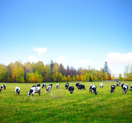Herd of cows grazing on a green meadow with autumn forest and blue sky on a background