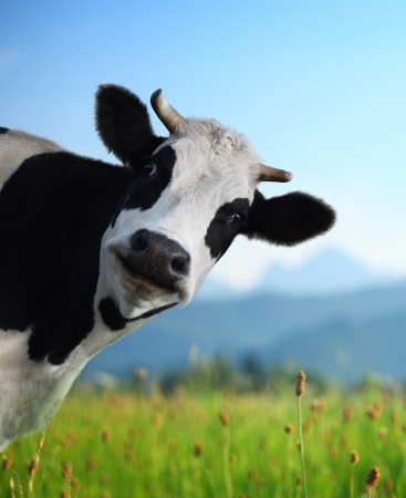 Photo pour Head of funny cow looking to a camera with Alps and green meadow on the background - image libre de droit