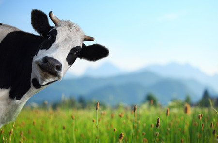 Photo pour Funny cow on a green meadow looking to a camera with Alps on the background - image libre de droit