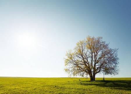 Photo pour Oak tree - image libre de droit