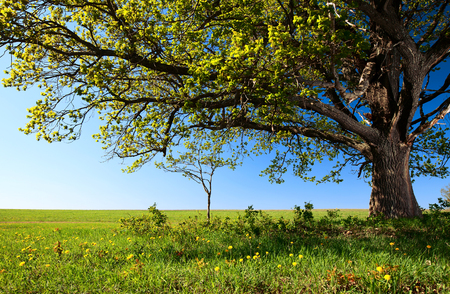 Big tree on the green field with blue sky on the background